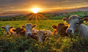 Beef cattle line up along a hedge at sunsetA small herd of beef cattle looking over a hedge at sunset on a Northern Ireland farm