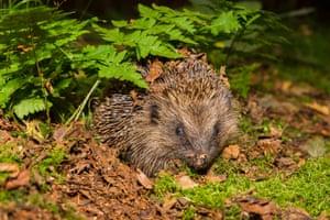 A wild hedgehog