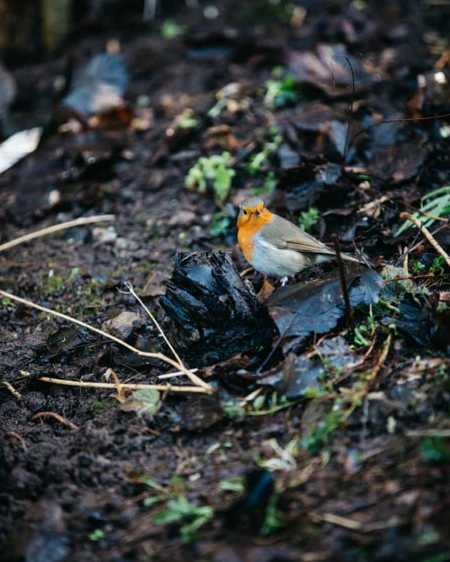 a robin hunts for food in freshly turned earth