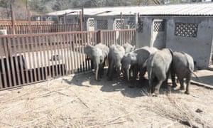 """年轻的大象在他们的圈地里。据专家介绍,他们正在""""聚拢"""",因为他们受到惊吓而挤在一起。"""