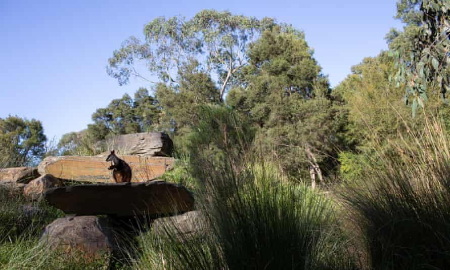 An endangered brush-tailed rock wallaby sits on a rock at the Australian Wildlife Health Centre in Healesville, Australia