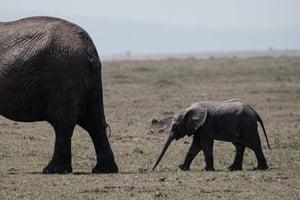 An elephant cub follows its mother in the Masaai Mara game reserve in Kenya