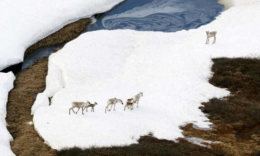 Caribou in the Arctic national wildlife refuge. 'Caribou provide 80% of our food, as well as our clothing. This is a sacred place and we will be wiped out if there is drilling there.'