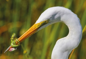 A great white heron (Ardea herodias occidentalis) fighting a green snake in the Florida Everglades. The fight lasted for nearly 20 minutes with the heron having to release its prey