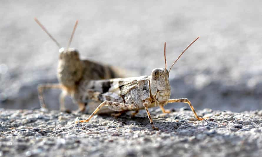 Grasshoppers on a sidewalk outside the offices of the Las Vegas Sun.
