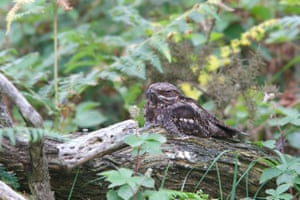 An endangered nightjar is bouncing back after woodland and heathland restoration by the National Trust at former timber plantations