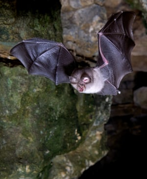 The winner of this year's 2021 mammal photographer of the year award is Daniel Whitby for his striking image of a lesser horseshoe bat