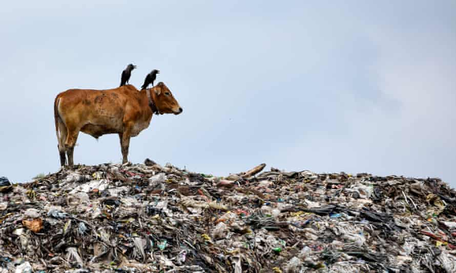 A cow standing on one of the largest disposal sites in north-east India, in Guwahati, 5 June 2020.