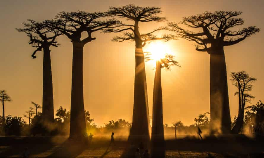 'Some species may not survive the next century. ' Adansonia grandidieri in the Avenue of the Baobabs, western Madagascar.