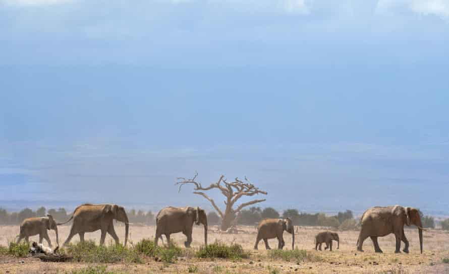 Elephants troop to a water hole at the Amboseli national reserve, Kenya