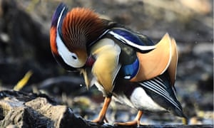 Nesting Mandarin ducks in Russia's far east in 2017 - the birds call eastern Siberia, China and Japan home