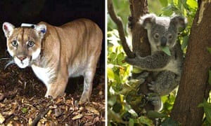The Hollywood mountain lion known as P22, left, is thought to be behind the killing of a koala at Los Angeles Zoo.
