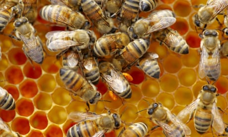Invasion of the 'frankenbees': the danger of building a better bee