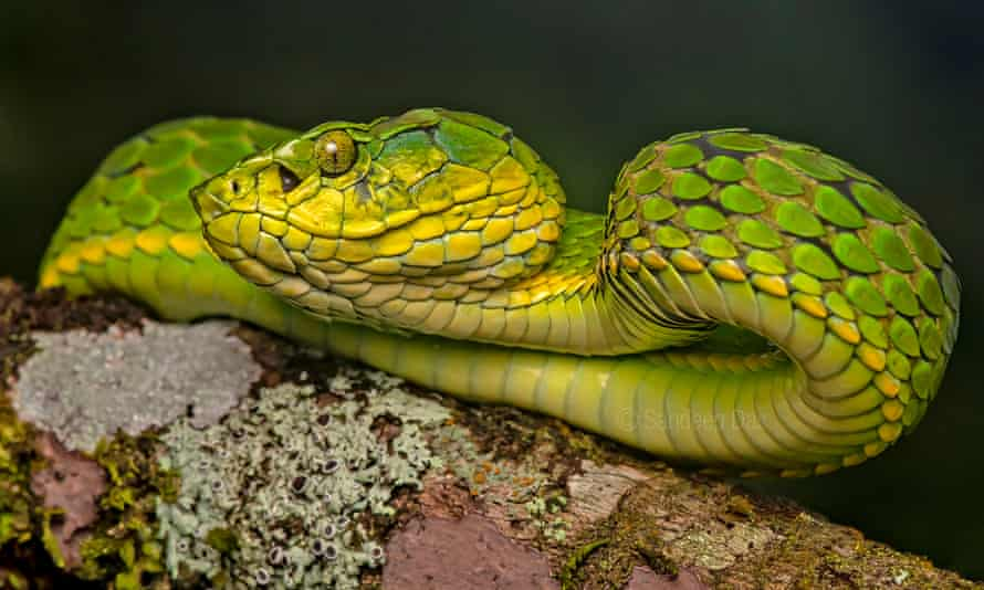 Large-scaled pit viper