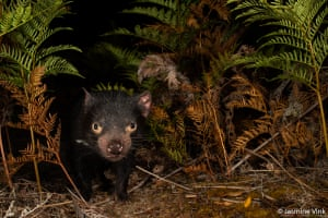 The winner of the threatened species category, Tasmanian Devil by Jasmine Vink. She says: 'Tasmanian devils were once common throughout Tasmania. A facial tumour has resulted in severe population declines throughout much of their range. The devils on Maria Island are an insurance population used to supplement the numbers and genetic diversity of other populations in Tasmania.'