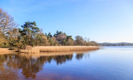 Lakeside reeds at Frensham, Surrey, UK.