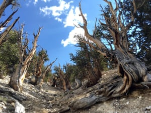 Gnarled, bristlecone pine trees in the White Mountains, California.