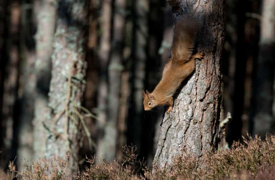 Red squirrel descending in its pine forest home, Abernethy Forest, Scotland
