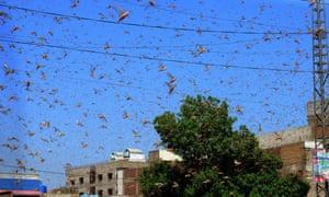 Locusts swarm in Hyderabad, Sindh province