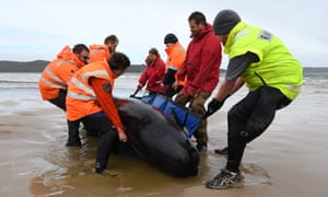 Rescuers try to save one of more than 450 stranded whales in Tasmania.