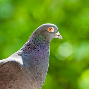 Racing breed pigeon portrait on green background.CF0K3N Racing breed pigeon portrait on green background.