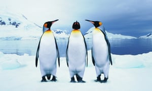 Three King Penguins standing on snow