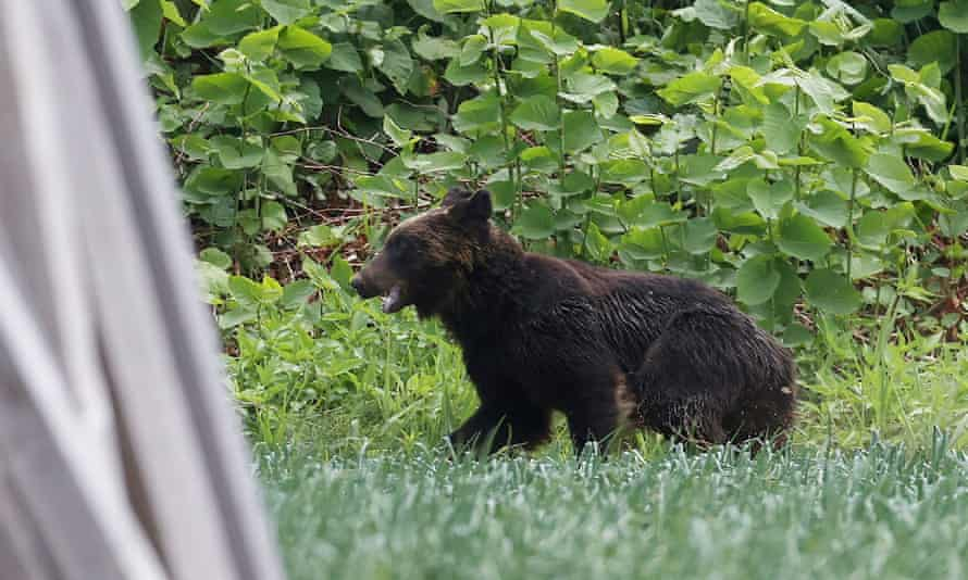 A brown bear on the loose in Sapporo