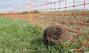 A dead hedgehog trapped in electric rabbit fence at the edge of an arable field in Bacton, Suffolk