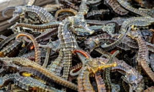 Part of a haul of 12.3m seahorses seized in the port of Callao, Peru, in September 2019