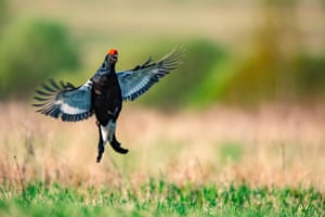 A black grouse performs courtship rituals in a field near the village of Lovchitsy, Belarus