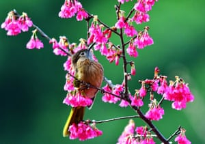A bird rests on the branch of cherry blossoms in Fuzhou, capital of southeast China's Fujian Province