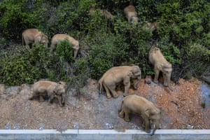Wild Asian elephants walk in E'shan county in the province of Yunnan.