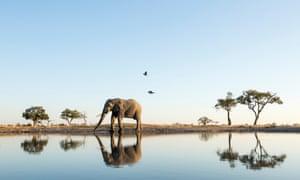 An African elephant walks alongside a water hole in Botswana's Chobe National Park.