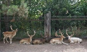 Deer sit around the perimeter of Marineland's deer park.