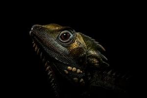 Boyds forrest dragon (Hypsilurus boydii)