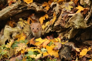 British autumn season winner: Robert E Fuller, 'Common weasel', North Yorkshire, England.
