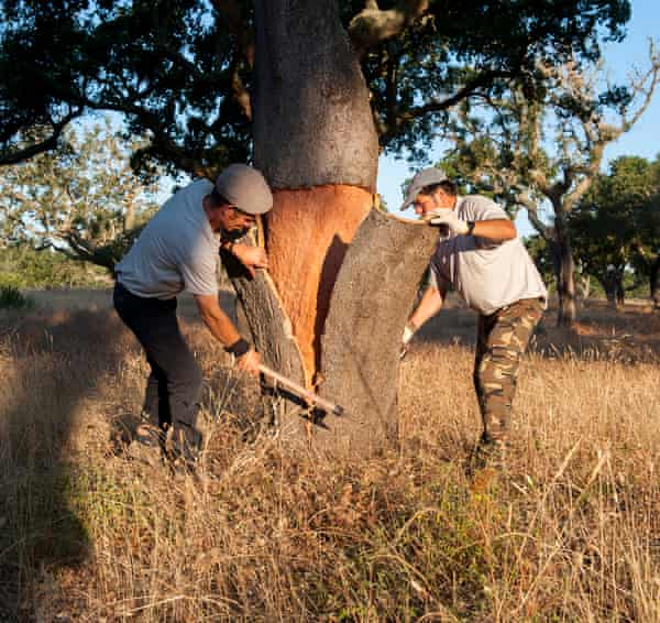 Bark harvested from cork oak trees in Portugal is still used mainly by the wine industry.