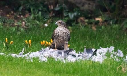 A sparrowhawk enjoys a pigeon feast.