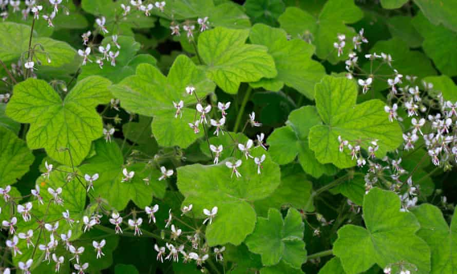 'Pelargonium tomentosum has a strong peppermint scent.'