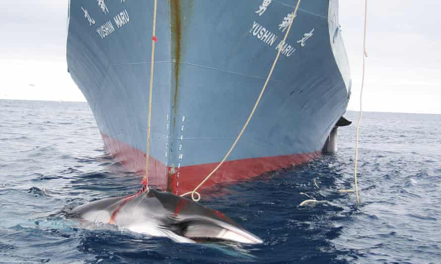 A whale being dragged on board a Japanese ship