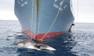 A Japanese whaling ship in the Southern Ocean in 2014. Pro-conservation countries at the International Whaling Commission's (IWC) biennial conference will step up pressure on Japan.