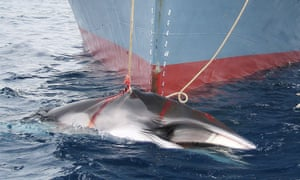 "Japan has continued to hunt whales legally for ""scientific research""."