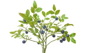 Ask Alys Fowler: why is my blueberry bush turning yellow and