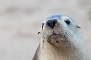 Australian sea lions (Neophoca cinerea) are part of a group known as 'eared' seals.