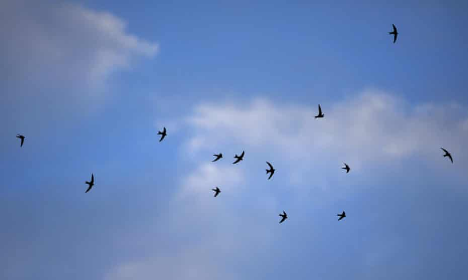 The title of Macdonald's new book is taken from the twilight flights of swifts, reaching as high as 10,000ft.