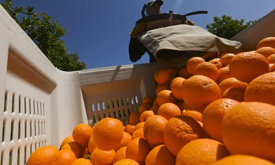 Oranges being harvested.