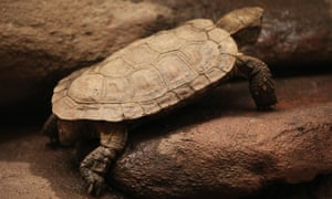 A pancake tortoise.