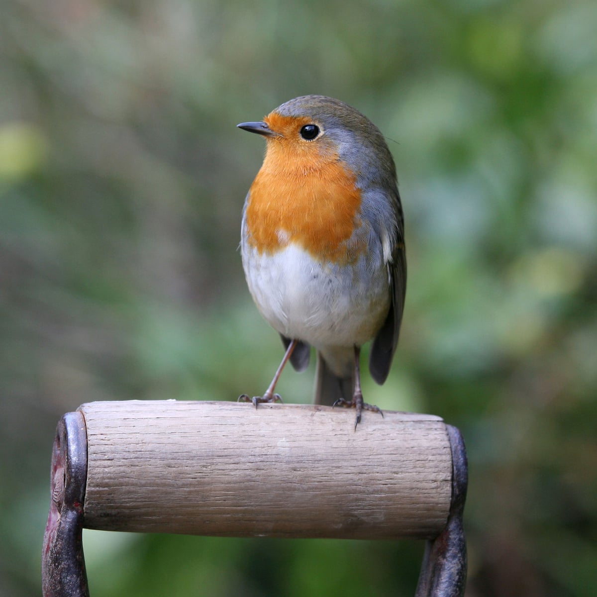 Birdwatch The Robin Is One Of Our Most Familiar Birds Yet It Can Still Surprise Us Environment The Guardian