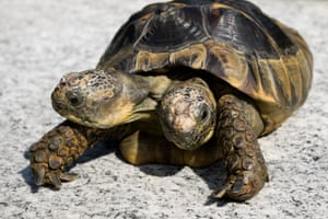 Janus, the Geneva Museum of Natural History's two-headed Greek tortoise, is photographed on the day of its 20th birthday