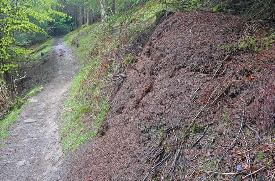 A wood ant nest beside the forest trail, thatched with Sitka spruce needles and home to 100,000 ants.